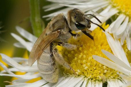 Halictus pollinosus Weibchen k2 4