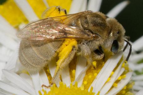 Halictus pollinosus Weibchen k2 5