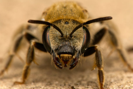 Halictus pollinosus Weibchen k2 6