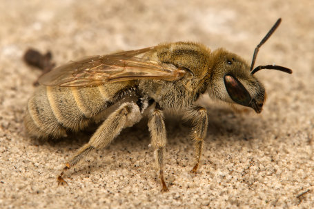 Halictus pollinosus Weibchen k2 7