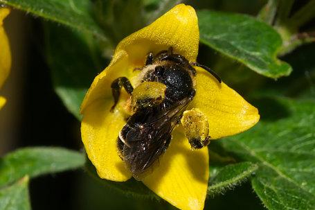 Macropis fulvipes Weibchen k2 1