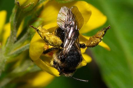 Macropis fulvipes Weibchen k2 3