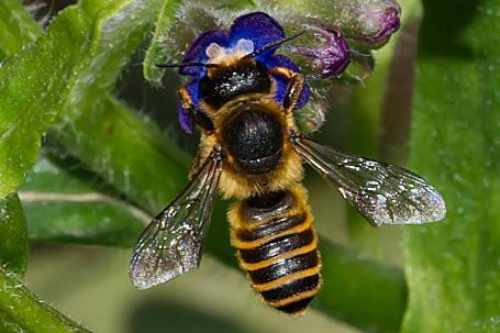 Megachile ericetorum Weibchen k2 2