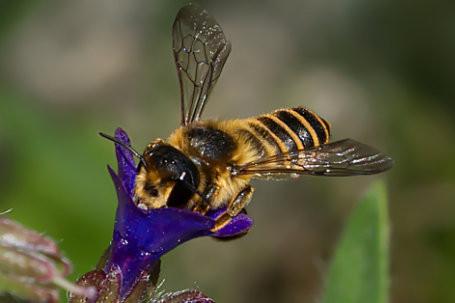 Megachile ericetorum Weibchen k2 3