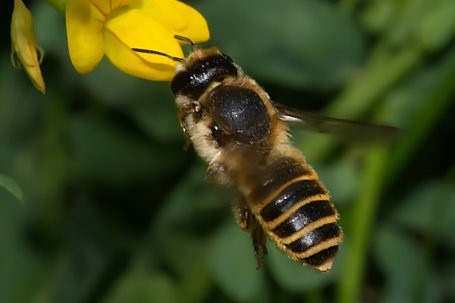 Megachile ericetorum Weibchen k2 4