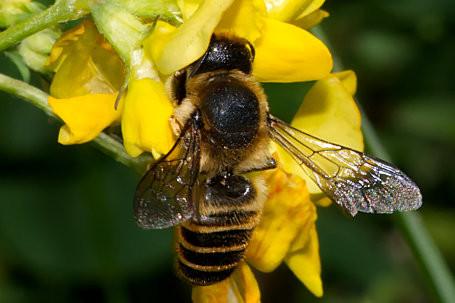 Megachile ericetorum Weibchen k2 5