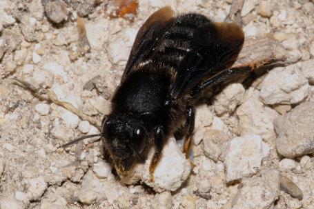 Megachile parietina Weibchen k2 3