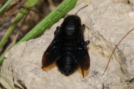 Megachile parietina Weibchen k2 4