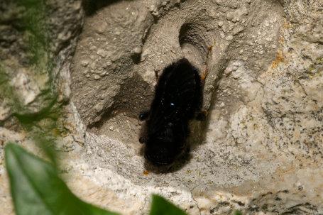Megachile parietina Weibchen k2 5