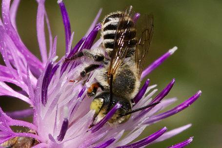 Megachile rotundata Maennchen k2