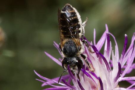 Megachile rotundata Weibchen k2 2