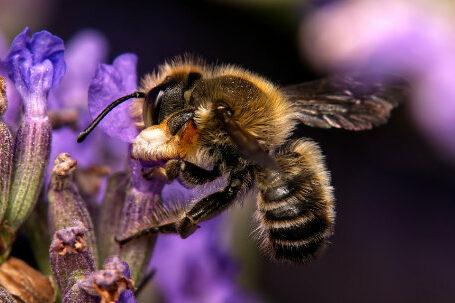 Megachile willughbiella Maennchen k 1 e1611744342468