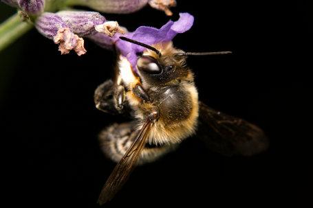 Megachile willughbiella Maennchen k2 2