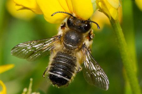 Megachile willughbiella Maennchen k2 3