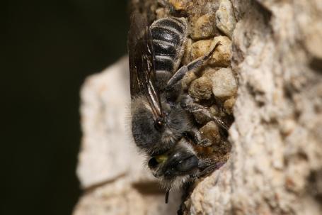 Osmia anthocopoides Weibchen k2 2