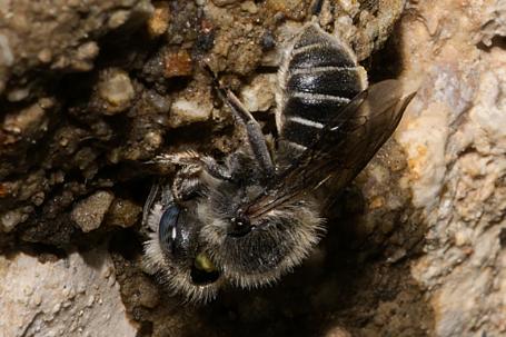 Osmia anthocopoides Weibchen k2 9