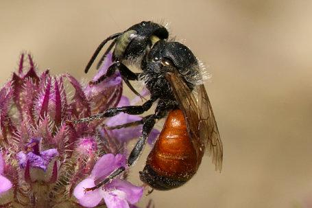 Osmia aurulenta Weibchen k2 1 1