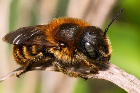 Osmia aurulenta Weibchen k2 4 2