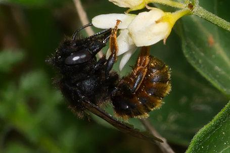 Osmia bicolor Weibchen k2 2
