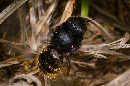 Osmia bicolor Weibchen k2 3