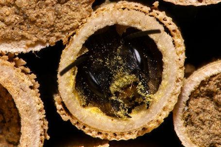 Osmia bicornis Weibchen k2 4