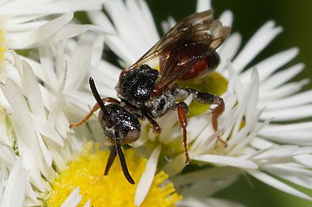 Pasites maculatus Weibchen k2 2
