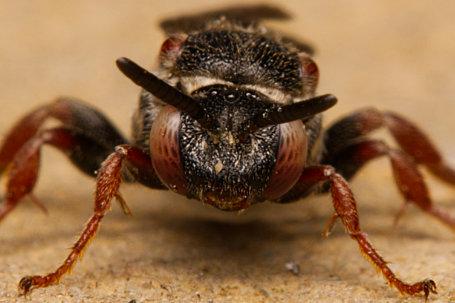 Pasites maculatus Weibchen k2 6