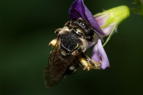 Pseudapis diversipes Weibchen k2 2