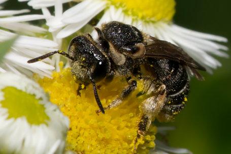 Pseudapis diversipes Weibchen k2 4