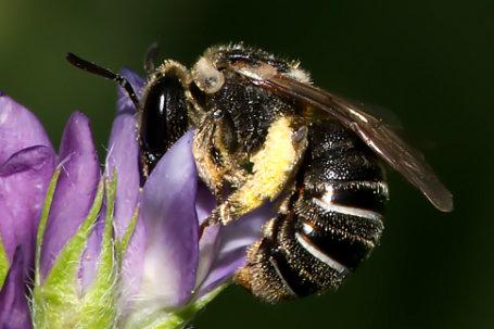 Pseudapis diversipes Weibchen k2 6