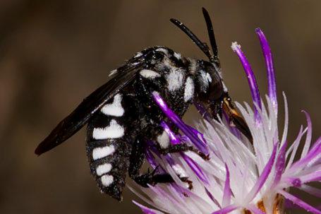 Thyreus truncatus Weibchen k2 3