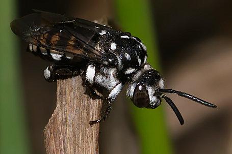 Thyreus truncatus Weibchen k2 4