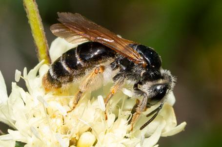 Andrena hattorfiana Weibchen k10