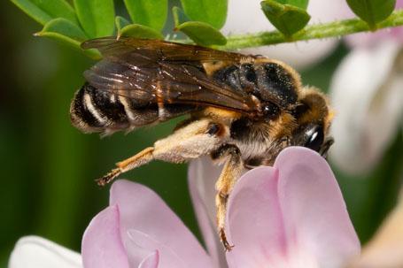 Andrena ovatula Weibchen k10 7