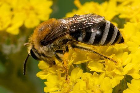 Colletes similis Weibchen k 1