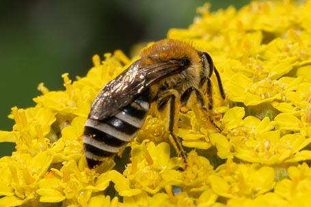 Colletes similis Weibchen k 5
