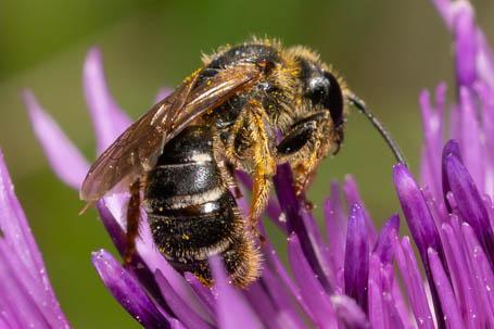 Halictus simplex Weibchen k 2