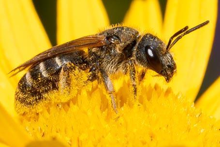 Halictus simplex Weibchen k 3