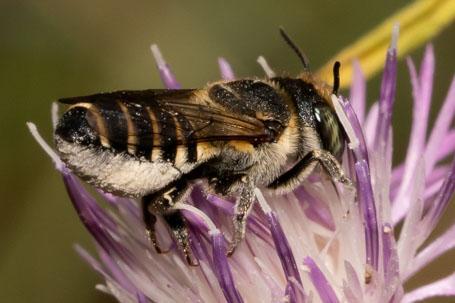Megachile apicalis Weibchen k 1
