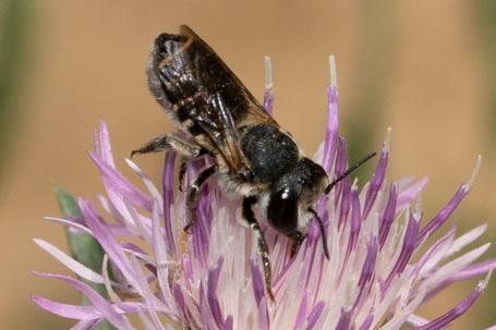 Megachile apicalis Weibchen k 2