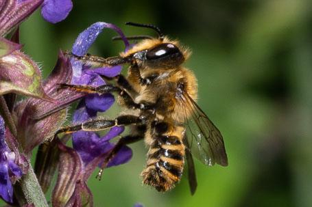 Megachile pilicrus Maennchen k