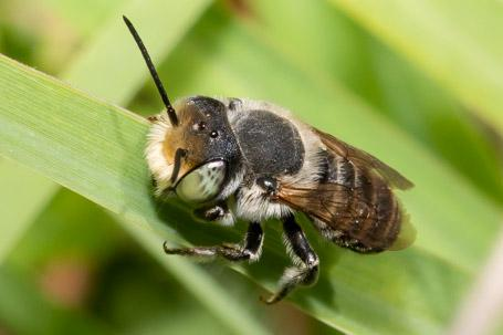 Megachile pilidens Maennchen k 2