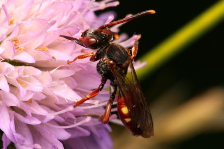 Nomada armata Weibchen k 3