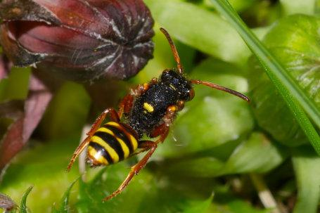 Nomada bifasciata Weibchen k 4