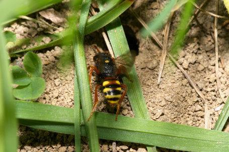 Nomada bifasciata an Nest von Andrena gravida k 3