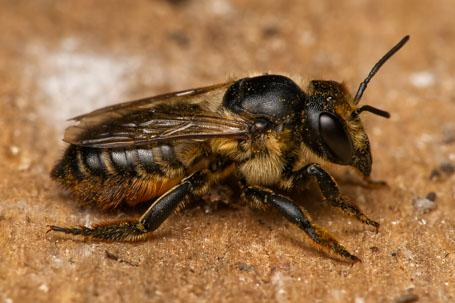 Megachile maritima Weibchen k2 1