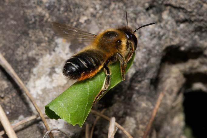 Megachile willughbiella Weibchen k10 1