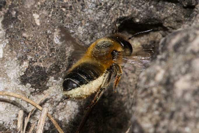 Megachile willughbiella Weibchen k10 2
