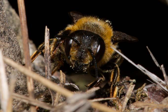 Megachile willughbiella Weibchen k10 3