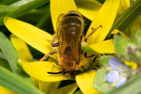 Andrena gravida 7